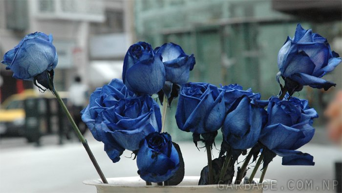 Bunch of blue roses being sold in the streets of San Francisco, California. This was the first time I ever saw a blue rose.