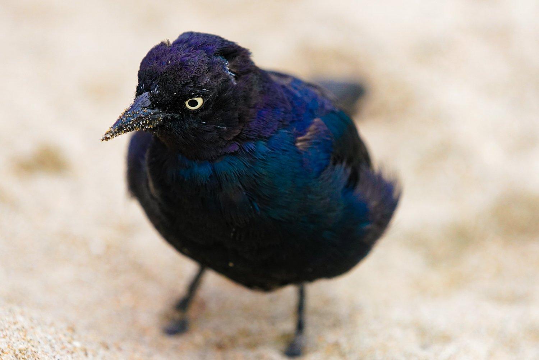 Brewer's Black bird, Santa Cruz, CA